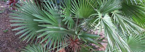 Quel palmier planter sur un balcon?