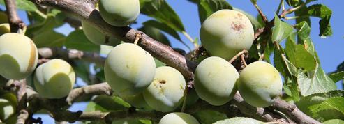 Prunier, arbre fruitier aux milles facettes