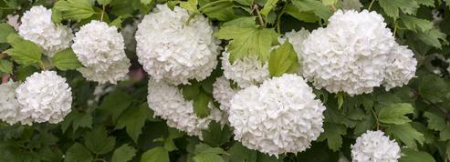 Viorne obier, de splendides inflorescences blanches