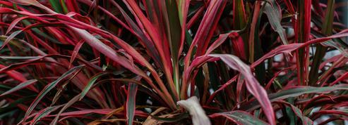 Balcon: quel arbuste reste rouge toute l'année?