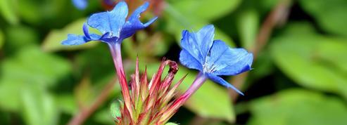 Plumbago de Chine, des fleurs au bleu intense