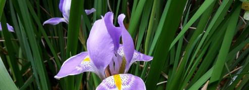 Iris d'Alger, il fleurit tout l'hiver!
