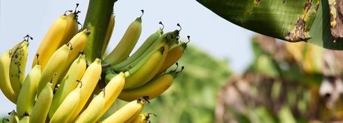 La chlordécone, une affaire qui fait toujours débat aux Antilles