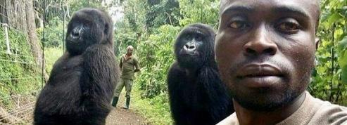 Derrière la photo devenue virale de ces deux gorilles debout, une bien triste réalité
