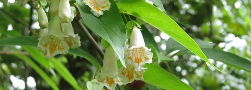 Dipelta florifère, un arbuste cousin de... la mâche