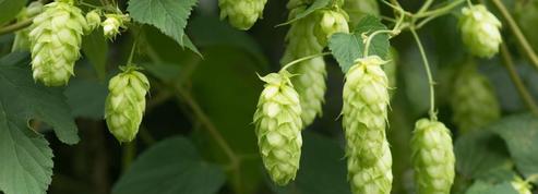 Bière: la culture du houblon à la conquête du Sud-Ouest