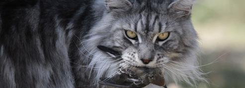 Le chat est-il en train de devenir un animal nuisible?