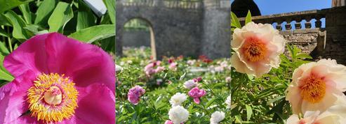La fantastique collection de pivoines du château de Sourches