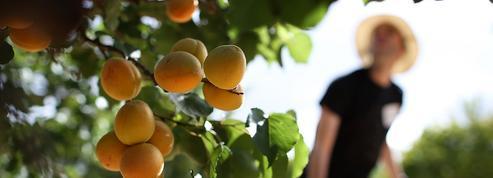 Tensions autour de la vente d'abricots chez le producteur