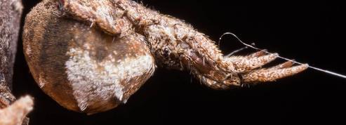 L'araignée «Hyptiotes» tend sa toile comme une catapulte