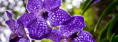 Orchidées: faut-il les sortir en été?