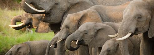 Le Botswana lève l'interdiction de la chasse aux éléphants