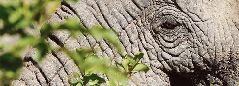 Le braconnage des éléphants a diminué en 2017