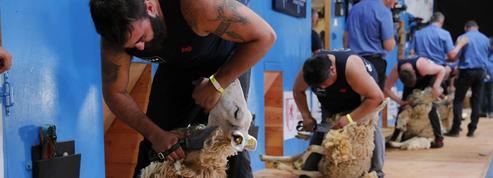 Pour la première fois, le Mondial de la tonte de moutons se déroule en France