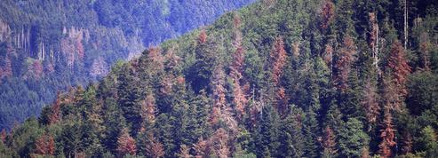 Avec la sécheresse, faut-il s'inquiéter pour les sapins de Noël des Vosges?