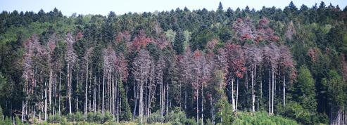 Sécheresse: menacée de toutes parts, la forêt des Vosges ne veut pas disparaître