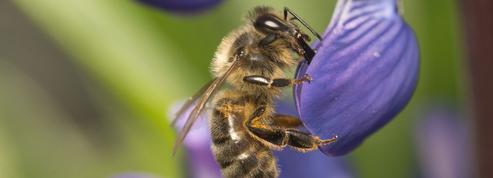 Puy-de-Dôme: des habitants se plaignent des «déjections d'abeilles», le maire s'agace