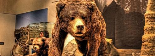 Les hommes peut-être à l'origine de la disparition des ours des cavernes