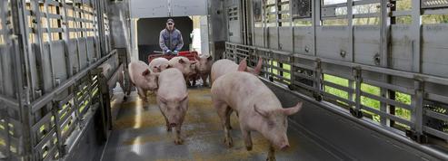 La peste porcine africaine en Chine, une aubaine pour les éleveurs bretons