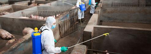 Peste porcine: les autorités chinoises baissent les bras face à une catastrophe inévitable