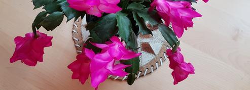 Schlumbergera ou cactus de Noël