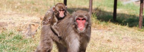 Pourquoi les femelles macaques ont-elles les fesses rouges?