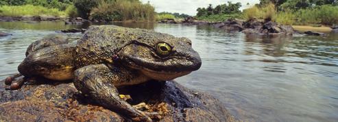 La grenouille goliath, ce géant qui construit des piscines pour ses petits