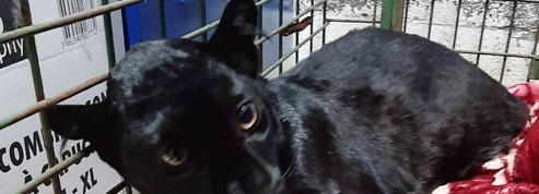 La panthère retrouvée à Armentières a été volée au zoo de Maubeuge
