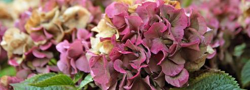 Jardin: ces hortensias qui changent de couleur en automne