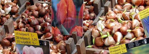 Quand les bulbes de tulipes vendus sur le marché aux fleurs d'Amsterdam ne fleurissent pas