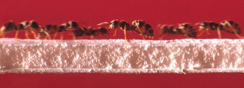 Les fourmis, championnes de la circulation sans embouteillage