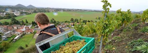 Le «Charbonnay», premier vin produit dans le Pas-de-Calais, enfin commercialisé