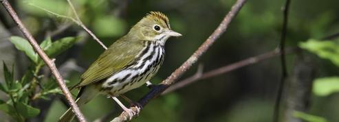 Des oiseaux migrateurs rétrécissent pour s'adapter au changement climatique