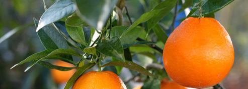 Oranger doux, la saveur de la Méditerranée