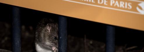 Les rats, enjeu des municipales à Paris
