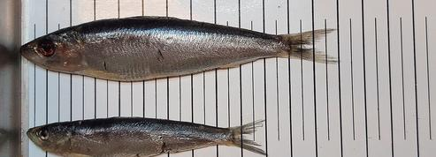 Pourquoi la taille des sardines a brusquement diminué