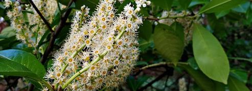 Laurier-palme ou laurier-cerise, l'arbuste de haie par excellence