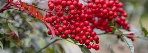 Bambou sacré, les perles rouges de l'hiver