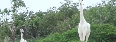 Girafe [ji-ra-f'] n. f. Forme la plus élevée de la vie animale