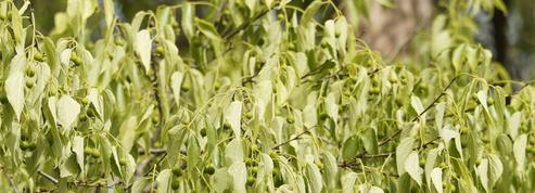 Micocoulier, arbre symbole de la Provence