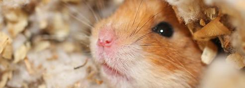 Port du masque: une protection efficace, selon une étude sur les hamsters