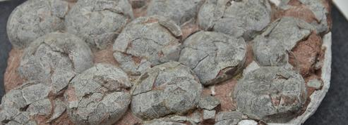 Les œufs des premiers dinosaures étaient «mous»