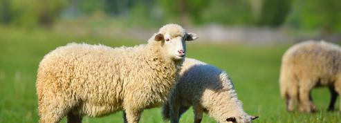 Des lycéens se filmaient en train de battre à mort des moutons