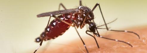 Pourquoi les moustiques des villes préfèrent le sang humain