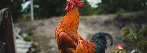 Bruits de la campagne: la folle histoire de l'assassinat du coq Marcel