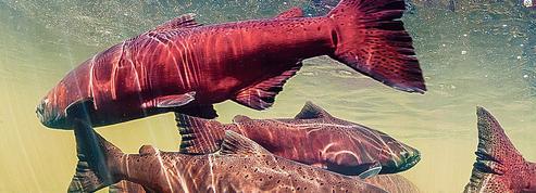 Pourquoi les saumons du Pacifique rétrécissent?