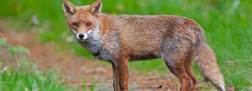 Faut-il tuer les renards?