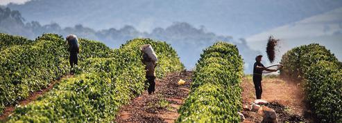 Le Brésil soigne ses grands crus de café