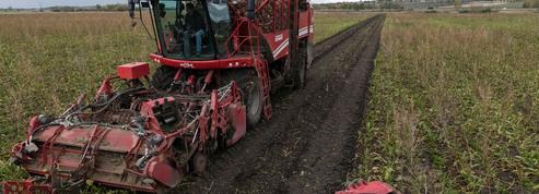 Les sucriers parés face à une récolte noire