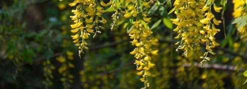 Cytise, une floraison en pluie d'or